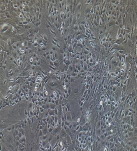 兔小肠平滑肌细胞
