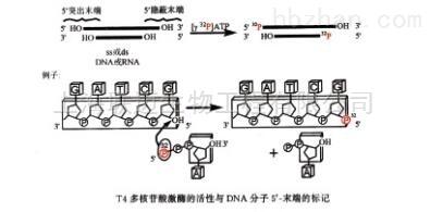 DNA 5'末端标记试剂盒