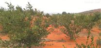 常宁市水口山土壤生态修复——万亩油茶基地